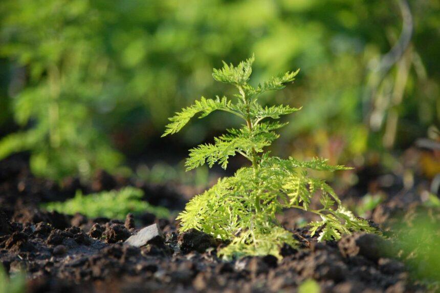 Artemisia Annua - die Wunder-Heilpflanze