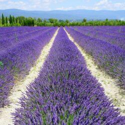 Lavendelöl - Wirkung und Anwendung